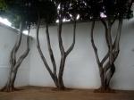 Laureles de la India, un clásico en los patios y parques de Oaxaca